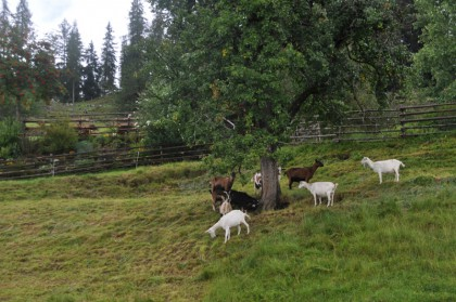 wenn sogar Ziegen Schutz vor der Nässe suchen